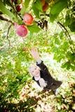 Flicka som ner för en förgrena sig med äpplen Arkivbild