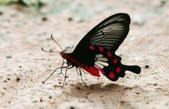 Ne Tailandia della farfalla Fotografie Stock Libere da Diritti
