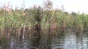 In Neajlov Delta. Reed in Neajlov Delta, Comana Natural Park, Romania stock footage