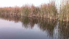 In Neajlov Delta. Reed in Neajlov Delta, Comana Natural Park, Romania stock video footage