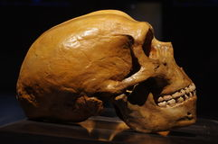 Neanderthal skull. Ancient objects archeology stock images