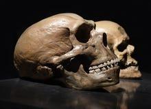 Neanderthal skull Stock Image