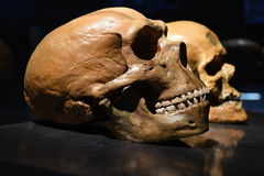 Neanderthalschädel stockfoto