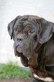 Neapolitan Mastiff. Brown Neapolitan Mastiff Stock Photography