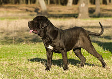 Neapolitan Mastiff. Portrait of the dog Neapolitan Mastiff Royalty Free Stock Photo
