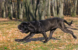 Neapolitan Mastiff. Running in the woods Royalty Free Stock Photography