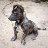 neapolitan mastiff Royaltyfria Foton