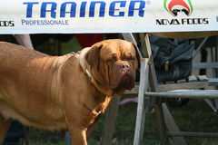 The neapolitan mastiff at the canine event. The Neapolitan Mastiff or Italian Mastiff, is a large, ancient dog breed. This massive breed is often used as a guard Royalty Free Stock Image