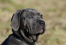 Neapolitan Mastiff dog. Portrait of black Neapolitan Mastiff dog with green nature background Stock Images