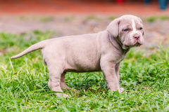 Neapolitan Mastiff Dog With Powerful Blue Eyes. Portrait Of Neapolitan Mastiff Dog With Powerful Blue Eyes Stock Photography