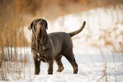 Neapolitan mastiff för hundkapplöpning Arkivbilder