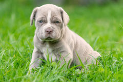 Neapolitan Mastiff Female Puppy Resting. Portrait Of Neapolitan Mastiff Female Puppy Resting On Grass Royalty Free Stock Images