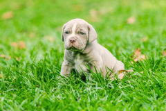 Neapolitan Mastiff Female Puppy Sitting Royalty Free Stock Images
