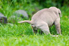 Neapolitan Mastiff Puppy Making Poop. On The Green Grass Royalty Free Stock Photo