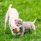 Neapolitan Mastiff Puppy Playing With A Jack Russell Terrier Adu. Portrait Of Neapolitan Mastiff Puppy Playing With A Jack Russell Terrier Dog On Grass Stock Photo