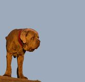 Neapolitan mastiff - guard dog. Huge brown dog at blue sky royalty free stock image