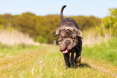 Neapolitan Mastiff running on the meadow Royalty Free Stock Photography