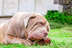 Neapolitan Mastiff Young Dog Happily Chewing A Raw Bone Stock Photos