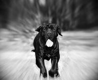Neapolitanischer Mastiff Stockfotos