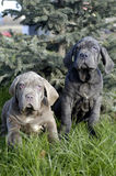 Neapolitano Mastiff Royalty Free Stock Photos