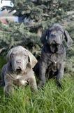 Neapolitano Mastiff royalty free stock photos