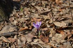Neapolitanus aislado del azafrán de las flores en la naturaleza foto de archivo