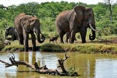 Near bevattna hål för elefanter och Wart Hog Arkivbilder