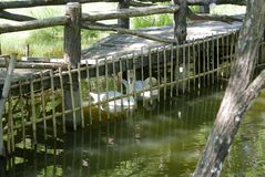 A near collapse bridge and swan at Pang Ung stock image