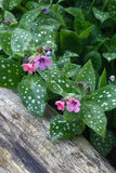 Pulmonaria in garden. Royalty Free Stock Images