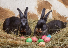 Near the Easter eggs on the hay lie two rabbits Stock Image