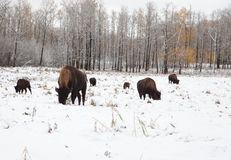 Herd of bison on a snowy plain. Near the forest a group of bison eat and snack and roam Royalty Free Stock Images