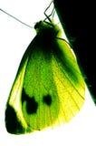 Near green batterfly Stock Photography