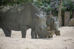 baby rhinoceros and mother at the zoo in summer day in color stock photos