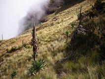 Near Imet Gogo, Simien mountains. Giant lobelias near Imet Gogo peak, Simien mountains Stock Photo