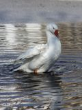 White ghost, graceful like a swan, in rainwater. Near Lake Orestiada in Kastoria, Greece. Here, these birds walk freely along the coastal alleys and green stock photography