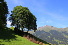 Mountain landscape near Maennlichen, Berner Oberland Switzerland. Mountain landscape. View at trees, high mountains, field with grasses of the Grindelwald valley royalty free stock photography