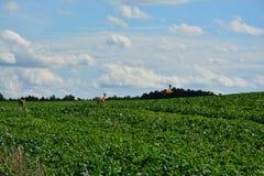 near mazury ängar för hjortbanhoppninglaken den nidzkiepoland sommaren Royaltyfri Bild