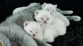 Near moder för kattungestående, svart bakgrund lager videofilmer