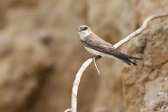 Near nest. European sand martin, bank swallow near nest Royalty Free Stock Image