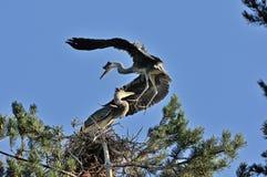 Near the nest of Grey Heron Royalty Free Stock Photos