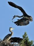 Near the nest of Grey Heron Stock Photos