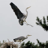 Near the nest of Grey Heron Stock Images