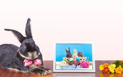 Near the photos with the rabbits in the basket is a rabbit with a bow Stock Photo