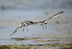 Near to head-on collision of lesser sand plover Stock Images