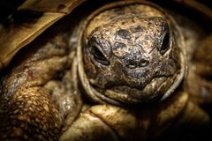 Near the turtle`s head. Turtle in forest, wildlife in greek landscape, Turtle are diapsids of the order Testudines or Chelonii, reptile group, ectotherm, cold stock images
