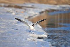 Near vatten för Seagull Arkivbilder