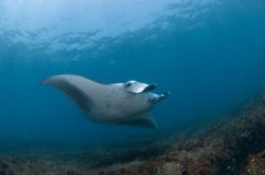 Nearing mantaray Stock Image