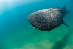 Nearing whale shark Stock Images