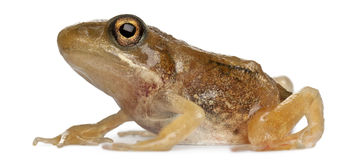 Nearly adult Common Frog, Rana temporaria Royalty Free Stock Image
