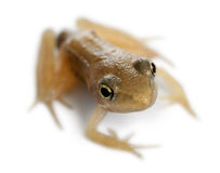 Nearly adult Common Frog, Rana temporaria Stock Images